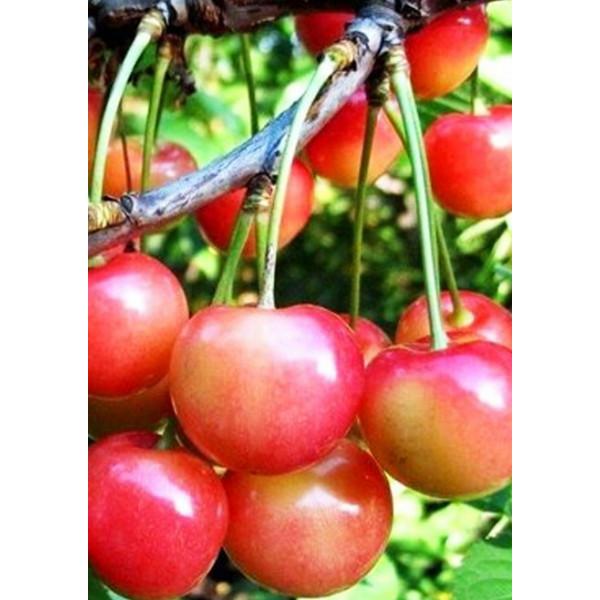 Черешня Орловская розовая