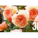 Роза английская Э шропшир