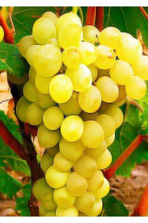 Виноград Антоний Великий